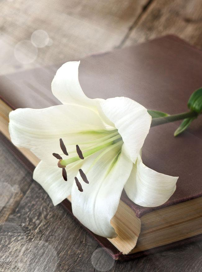 weiße-lilie-buch-symbolisch-einaescherung
